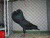 schwarz-1_0-jung-v-97-w-vogel